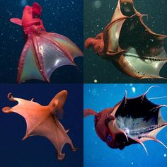 The vampire squid looks a little bit like a squid and a little bit like an octopus. It has a soft, jelly-like body that moves through the water with the help of eight tentacles; the tentacles end in filaments that are used for feeding. : interestingasfuck Bizarre Animals, Crazy Animals, Cute Baby Animals, Vampire Squid, Squid Tentacles, Monster Concept Art, Cuttlefish, Frames, Kittens