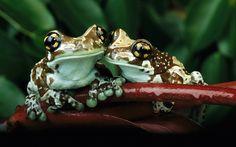 frogs_couple_animal_love_earth_hd_nature_ultra_3840x2160_hd-wallpaper-1661258.jpg (1920×1200)