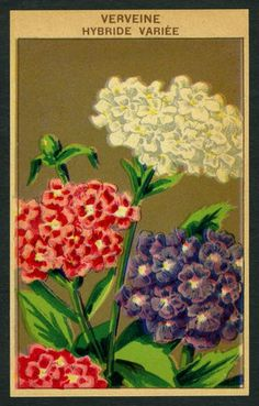 Antique French Seed Pack Label 1920s Flower Botanical Verveine Hybride 27 | eBay