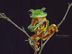 The Javan Flying frog by Irawan Subingar on 500px