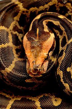 Indian Rock Python (Python Molurus)