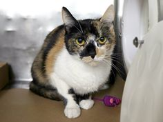 KLOE - A1112240 - - Manhattan  *** TO BE DESTROYED 05/27/17 *** KLOE is a beautiful calico kitty that was surrendered to the ACC. Two years old, spayed and needs a loving home! -  Click for info & Current Status: http://nyccats.urgentpodr.org/kloe-a1112240/