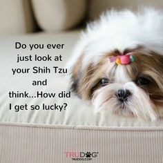 I love my Shih Tzu!