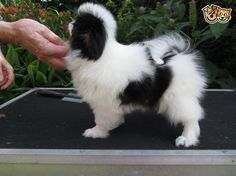 Japanese Chin Puppies for sale | Goole, East Riding of Yorkshire | Pets4Homes