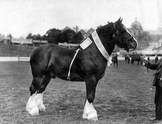Champion draught horse at the Royal Adelaide Show by State Library of South Australia, via Flickr
