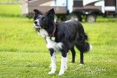 Willow the border collie