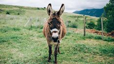 Today something very good happened to me. I found out about miniature donkeys. Miniature donkeys, apparently, are the actual cutest thing on earth. They look just like regular donkeys but teeny…