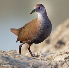 The Brown CRAKE (Amaurornis akool), or Brown Bush-hen, is a waterbird in the rail and crake family (Rallidae) found in South Asia
