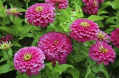 Zinnia Care: How To Grow Zinnia Flowers - Zinnia flowers (Zinnia elegans) are a colorful and long lasting addition to the flower garden. When you learn how to plant zinnias for your area, you'll be able to add this popular annual to sunny areas that benef Gerbera Daisy Care, Gerbera Daisies, Daisy Flowers, Cut Flowers, When To Plant Seeds, Zinnia Garden, Zinnia Elegans, Sun Plants, Flowering Plants