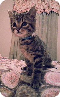 Prattville, AL - Domestic Shorthair. Meet Jordy 22192, a kitten for adoption. http://www.adoptapet.com/pet/12751201-prattville-alabama-kitten