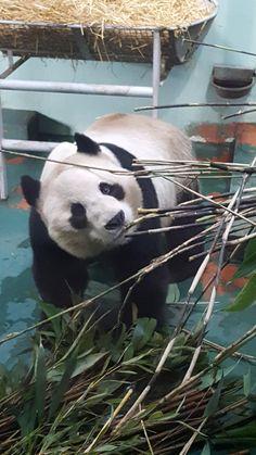 Giant Panda at Edinburgh Zoo posing for me! http://ift.tt/2k80TpT