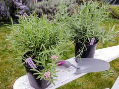 How to Plant Lavender in Your Garden Potted Lavender, Growing Lavender, Lavender Varieties, Lavender Crafts, Drain Away, Outside Plants, Sloped Garden, Perennials