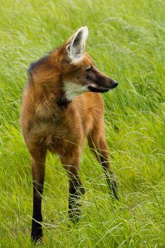 Big Animals, Majestic Animals, Rare Animals, Funny Animals, Wild Animals Photography, Wolf Photography, Beautiful Creatures, Animals Beautiful, Ethiopian Wolf