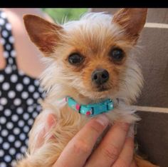 Green Bay, WI Yorkie, Yorkshire Terrier/Chihuahua Mix