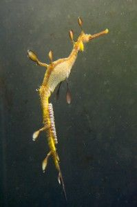 Nearly 100 small, pinkish eggs adorn a male weedy sea dragon. As with sea horses, male sea dragons are responsible for bearing young