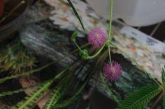 Mimosa Pudica flowers Dandelion, Flowers, Plants, Dandelions, Plant, Taraxacum Officinale, Royal Icing Flowers, Flower, Florals