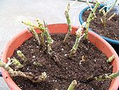 Overwintering Geraniums This is the easiest of the three methods, and the most popular, because the results are almost guaranteed. 1.Dig the geraniums up and carefully shake all the soil from their roots. 2.Then hang the plants upside down in a cool 45-50°: F (7.2-10 C), dry place.  3.An alternate method is to place 1 or 2 plants in a large paper sack.