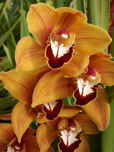 "Orchid Cymbidium ""Orange Dreamtime"""