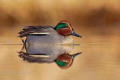 Wintertaling (Anas crecca)