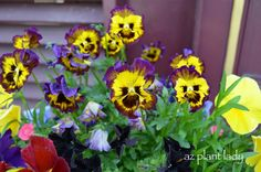 These Pansies have ruffled edges. I believe they are a variety known as 'Frizzle Sizzle'