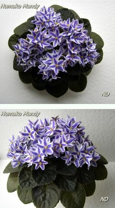 Humako Mandy - What A Different Flower Design. Doesn't Look Like An A.African Violets Are Coming Back As America's Favorite Houseplant. Look at For More Photos And Care Tips. Perennial Flowering Plants, Herbaceous Perennials, Indoor Flowers, Indoor Plants, Saintpaulia, Orchid Care, Different Flowers, Flower Pictures, Flower Designs