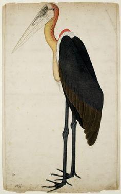 Adjutant Stork (Leptoptilos dubius), by Shaikh Zain ud-Din for lady Mary Impey, Kolkata, India c. 1780