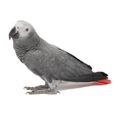 At first glance, the African grey is a medium-sized, dusty-looking gray bird, almost pigeon-like – but further investigation reveals a brigh... #animalhealth