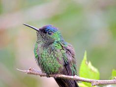 Foto beija-flor-de-fronte-violeta (Thalurania glaucopis) por Thais Camacho | Wiki Aves - A Enciclopédia das Aves do Brasil