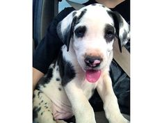 AKC GREAT DANE PUPPIES, MANTLE, HARLEQUIN, BLACK ...