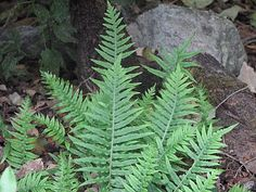 Polypodium glycyrrhiza (Licorice Fern) –the soft, green fern that you see in the woods on logs and stumps and on mossy tree trunks (especially big leaf maples), that looks kind-of-like-but-not-quite-like a small version of Sword Fern. This dainty specimen has fronds that grow only 10-12 inches long, thriving in moist, mossy settings, especially happy on mossy tree trunks, stumps and branches. Vigorous when its needs are met, languishes in dry conditions.