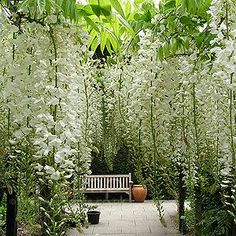 A curtain of lovely white wisteria