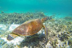 Turtle swimming on the reef around Lady Elliot Island. Photo by Stephen Waller Photography