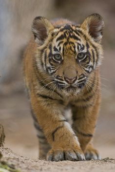 Sumatran Tiger Cub: There are less than 400 remaining in the wild. All types of tigers are endangered: The world's tiger population has plummeted by 95 percent from the start of the century to as few as now. Baby Tigers, Cute Tigers, Cute Tiger Cubs, Big Cats, Cool Cats, Cats And Kittens, Siamese Cats, Cute Baby Animals, Animals And Pets