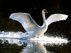 Flickr Beautiful swan