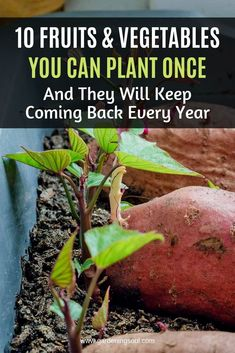 10 Fruits & Vegetables You Can Plant Once — And They Will Keep Coming Back Every Year Growing An Avocado Tree, Growing Tree, Growing Plants, Gardening For Beginners, Gardening Tips, Gardening Gloves, Texas Gardening, Gardening Supplies, Citrus Trees