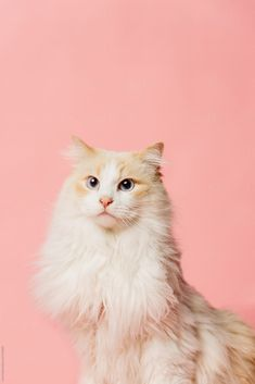Pink Background Portrait Of A Cat By Luke Liable For ; rosa hintergrund-porträt einer katze durch luke liable for Pink Background Portrait Of A Cat By Luke Liable For ; Wallpaper Gatos, Cute Cat Wallpaper, Animal Wallpaper, Pretty Cats, Beautiful Cats, Cute Cats, Animals And Pets, Cute Animals, Cute Cat Memes