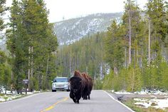 Face to face encounter with bison in Yellowstone. Image by Ajar. CC BY-SA 2.0.