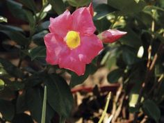 Commonly called pink allamanda, vines of the genus Mandevilla add color to gardens with their large, trumpet-shaped flowers and dark green foliage. They grow best within U.S. Department of ...