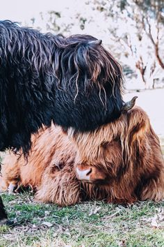 At Ennerdale we sell Scottish Highland Cattle - Cows, Bull and Calves. We are also considered one of the best breeders of Highland Cattle in the Australia market. Cute Baby Cow, Baby Cows, Cute Cows, Cute Baby Animals, Farm Animals, Animals And Pets, Baby Elephants, Wild Animals, Cow Wallpaper