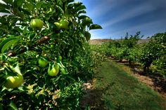 Orchards, Vernon, BC, Canada