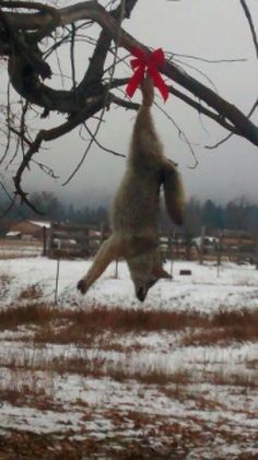 Just passing trough Missoula, Sanders County, Montana you can see this horrible gesture of animal cruelty. Punish Sanders County Man For Destroying A Coyote And Hanging Him On A Tree For Everyone To See! Petition by PetitionHub.org -> Sign the Petition on: http://www.petitionhub.org/Punish-Sanders-County-Man-For-Destroying-A-Coyote-And-Hanging-Him-On-A-Tree-For-Everyone-To-See-t-823