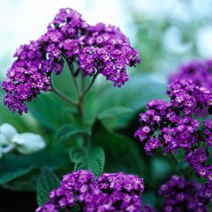 Gather some friends around heliotrope in bloom and ask what it smells like. Some say cherry pie, others say vanilla, and yet others say grapes. No matter what you think it smells like, you're sure to love the sweet, rich fragrance that emanates from the lovely clusters of purple, blue, or white flowers. http://www.bhg.com/gardening/design/styles/fragrant-plant-favorites/?socsrc=bhgpin031415heliotrope&page=15