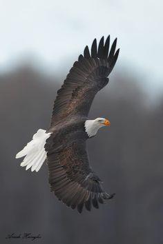 Alaska eagle by Ari Hazeghi on 500px