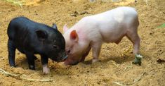 most world pets/animals Pet Pigs, Guinea Pigs, General Motors Diet, Farm Animals, Cute Animals, Farm Images, Pot Belly Pigs, Teacup Pigs, Tibetan Mastiff