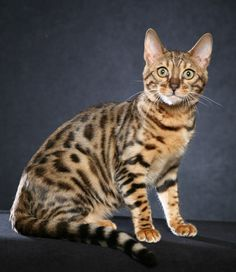 bengal cats - Google Search