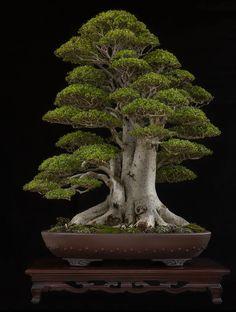 184- NIA (Neea buxifolia) – FELAB 2016 #bonsai Photo Contest