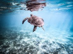 Here is how you can swim and snorkel with turtles for CHEAP and without a guide in the gorgeous Akumal, Mexico 2018 Sea Turtle Wallpaper, Nature Photography, Travel Photography, Summer Photos, Once In A Lifetime, Snorkeling, Adventure Travel, Akumal Mexico, Travel Inspiration