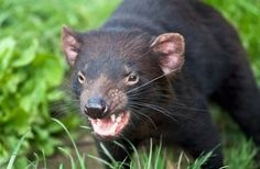 SECOND FORM OF CONTAGIOUS CANCER FOUND IN TASMANIAN DEVILS…