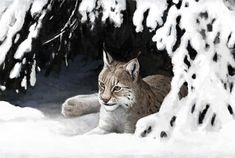 Ilves talvella - Lynx lynx in winter, Karvanaamojen talvi Biology For Kids, Beautiful Cats, Big Cats, Emo, Scenery, Environment, Husky, Creatures, Winter
