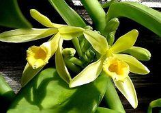 A Baunilha é uma Orquídea. Sabia disso?